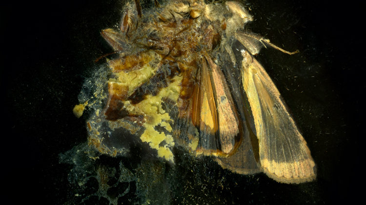 Mat Collishaw - Insecticide 12 - 2006 - C-type photo on Dibond - 118 X 122 cm Ed. 1/3